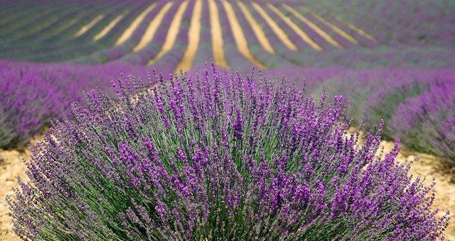 does lavender help you sleep